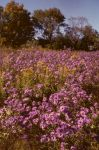 New England Aster Field